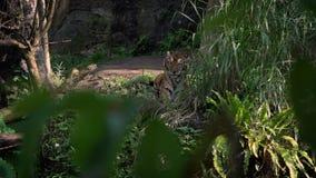 Langzame Motie die van de tijger van Bengalen op gras in bos tussen bomen bij dierentuin liggen stock videobeelden