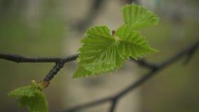 Langzame Motie Natte tak van een berk met bladeren stock footage