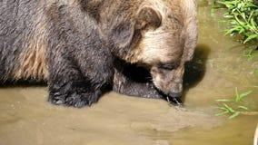 Langzame motie van bruine beer die voedsel vinden stock footage