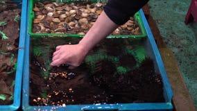 Langzame motie van de Aziatische zeeëgel van de vrouwenholding in traditionele zeevruchtenmarkt stock videobeelden