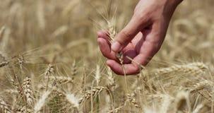 Langzame motie van jonge landbouwershand wat betreft tarweoor op een zonlicht in 4k (dichte omhooggaand stock videobeelden
