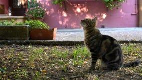 Langzame Motie van mooie bruine en zwarte gestripte kat die omhoog van een boom kijken stock videobeelden