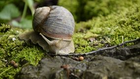 Langzame motie van slak het sluiten in zijn shell stock videobeelden