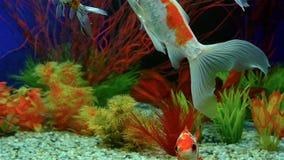 Langzame Motiegoudvis die in Aquarium zwemmen stock videobeelden