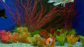 Langzame Motiegoudvis die in Aquarium zwemmen stock footage