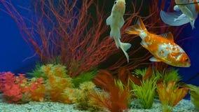 Langzame Motiegoudvis die in Aquarium zwemmen stock video