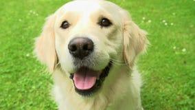 Langzame Motieopeenvolging van Gelukkige Golden retrieverhond op Gazon stock video