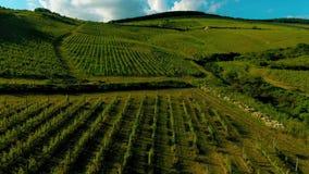 Langzame motiepan over wijngaard stock videobeelden