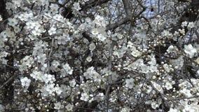Langzame pan van boomtakken met de bloemen van de de lentekers Videolengte stock footage