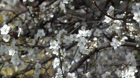 Langzame pan van een tot bloei komende boomtakken met de lentebloemen stock video