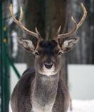 Lani maschio giovane alla neve che esamina il ritratto della macchina fotografica Fotografia Stock
