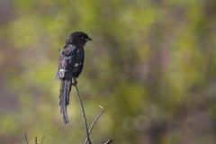 Laniere della gazza nel parco nazionale di Kruger, Sudafrica Fotografie Stock