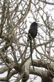 Laniere della gazza - uccelli di grande parco frontaliero di Lumpopo fotografie stock