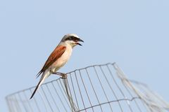 Lanius collurio on abandoned wire fence Royalty Free Stock Photos