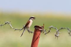 Lanius collurio on barbed wire Stock Images