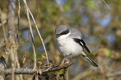 Lanius ludovicianus, loggerhead shrike Royalty Free Stock Photo
