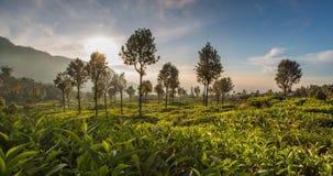 lanka种植园sri茶 图库摄影