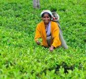 lanka opuszczać wyborów sri herbaty kobiety Fotografia Stock