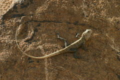 lankan蜥蜴sri 库存照片