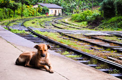 Lankan κόκκινο σκυλί Sri Στοκ φωτογραφία με δικαίωμα ελεύθερης χρήσης