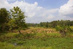 Lankan συγκομισμένοι ορυζώνες ρυζιού Sri Στοκ εικόνα με δικαίωμα ελεύθερης χρήσης