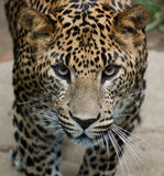 lankan leopard sri Στοκ εικόνα με δικαίωμα ελεύθερης χρήσης