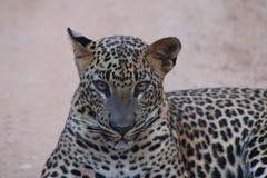 lankan leopardsri Fotografering för Bildbyråer