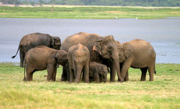 lankan słonia sri zdjęcia stock