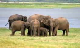 lankan sri ελεφάντων Στοκ Φωτογραφίες