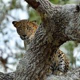 lankan sri леопарда Kotiya pardus пантеры Стоковая Фотография RF