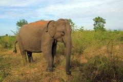 Lankesian elefant Royaltyfria Bilder