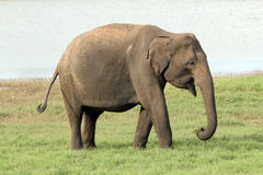 Lankesian Elephant Royalty Free Stock Photography
