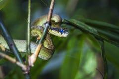 Lankijczyk jamy żmija w Sinharaja lasowym resreve, Sri Lanka obrazy royalty free