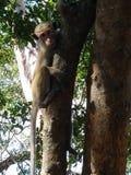 Lankijczyk małpa ono wpatruje się przy tobą fotografia royalty free