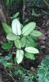 Lankijczyk roślina zdjęcie royalty free