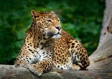 Lankijczyka lampart, Panthera pardus kotiya, Duży łaciasty kota lying on the beach na drzewie w natury siedlisku, Yala park narod Obraz Stock