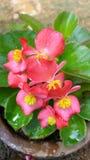 Lankijczyka piękny obrazek różowy colour kwiat Obraz Stock