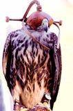 Lannar falcon Stock Image