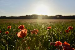 Lanndscape with sunset over poppy field. Lanndscape and sunset over poppy field Royalty Free Stock Photo