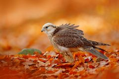 Lanner猎鹰,游隼科biarmicus,非洲罕见的鸷用桔子在秋天森林,西班牙把分支留在 从na的野生生物场面 免版税库存照片