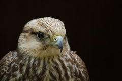 Lanner猎鹰 免版税库存图片