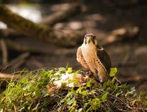 lanner сокола Стоковая Фотография RF
