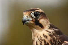 Lanner Falcon. Royalty Free Stock Photography