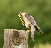 Lanner Falcon Stock Photos