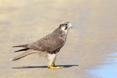 Lanner Falcon Royalty Free Stock Photo