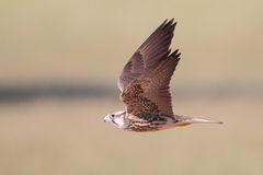 Lanner Falcon Stock Photo