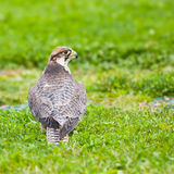 Lanner falcon. Sitting on grass. Photo taken at Ailwee Cave, Birds of Prey sanctuary, Ireland Stock Image
