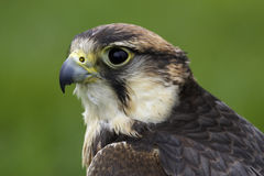 Lanner falcon. Side view stock image