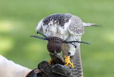 Lanner falcon Royalty Free Stock Images