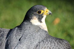 Lanner falcon Stock Image